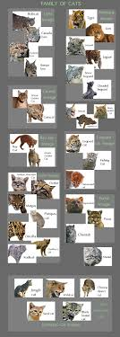 Wild Cat Facts For Kids Poc