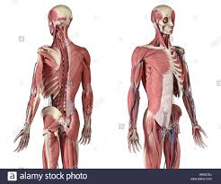 Sub Surface Muscles Stock Photos Sub Surface Muscles Stock