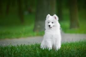 samo cute puppies