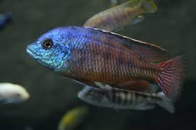 How To Identify Types Of African Cichlid Fish Pets