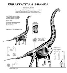 brachiosaurus size giraffatitan_brancai_hi_fi_skeletal_by_paleo_king d4sljwd jpg