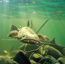 flathead catfish wallpaper. Simple Catfish Flathead Catfish 2 In Wallpaper