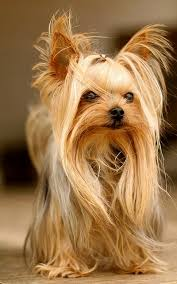 yorkshire terrier haircuts. Simple Yorkshire Many Owners Like Fun Experiments With Their Dogs One Of Them Is This U201cjust  Out Bedu201d Hairstyle You Need To Keep The Fur Rather Long Which Means You  With Yorkshire Terrier Haircuts R