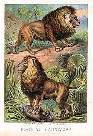 asiatic lion  african above and asiatic below lions as illustrated in johnsons book of nature