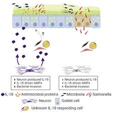 enteric nervous system derived il 18