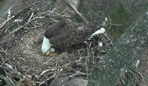 eagles nest size eagle eggs due to hatch soon on d c eagle nest cam business wire