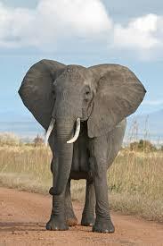 african elephant  african bush elephant jpg