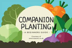 Companion Planting Chart Uk Companion Planting A Beginners Guide The English Garden