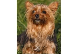 If you choose yorkshire terrier summer cut you need to know how to make a beautiful yorkshire terrier short haircuts. Yorkshire Terriers What S Good About Em What S Bad About Em