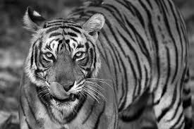 black and white animal photography. Unique And Bengal Tigress Licking Nose Ranthambhore National Park Rajasthan India On Black And White Animal Photography H