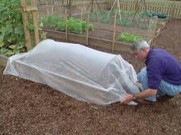 protect spinach plants with row covers