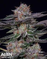 Alien Lights Strain Bearclaw Alien Genetics Cannabis Strain Info