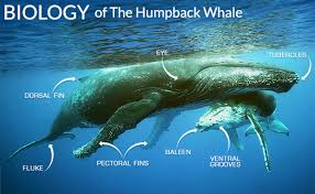 Maui Whale Watching Guide Humpback Whales In Hawaii