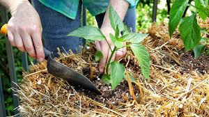 hands planting bell pepper in straw bale