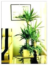 tall office plants. Interesting Plants Large Indoor Plants For Sale Tall Low Light Common Office  In Tall Office Plants T