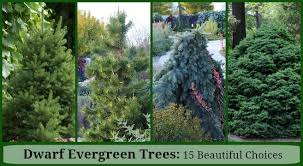 dwarf evergreen trees 15 exceptional