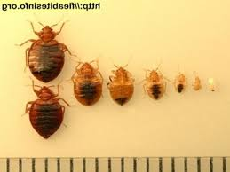 bed bugs size what is the shape and of bug how to avoid sizes69 bug