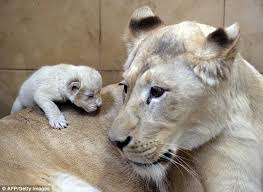 newborn white lion cubs. Fine Newborn White Lioness Azira Keeps A Close Eye On One Of Her Triplets The Cubs Were Intended Newborn Lion Cubs L