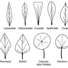 Examples Of Leaf Shapes Download Scientific Diagram