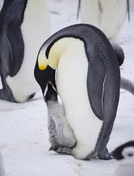 emperor penguins eating. Brilliant Eating Image Emperor Penguin Chick Being Fed Gould Bay Weddell Sea November  2014 To Penguins Eating M