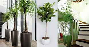 Tall Indoor Plants 18 Best Large Indoor Plants Tall Houseplants For Home And