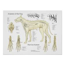 Dog Nervous System Anatomy Poster Chart