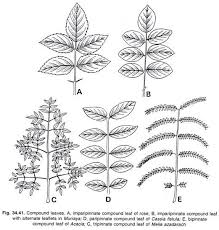 Leaf Definition Parts And Types With Diagram Botany