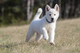 white german shepherd husky mix puppy.  Husky Husky Shepherd Mix In White German Puppy E