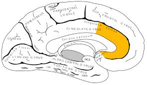 Anterior Cingulate Cortex Wikipedia
