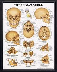 The Human Skull Anatomy Poster Anatomical Chart Company Ebay