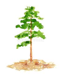 watercolor pine tree hand drawn and painted stock ilration ilration of botanical