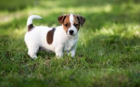 Puggle Growth Chart Jack Russell Terrier Puppies Behavior And Characteristics