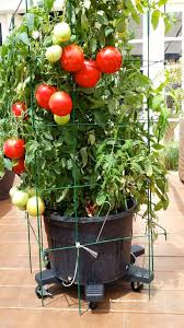 Staking Caging And Mulching Large Container Tomatoes  The Rusted Container Garden Plans Tomatoes