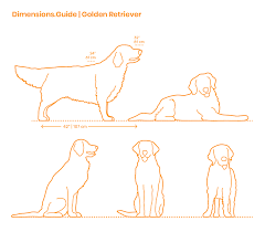 Brussels Griffon Weight Chart Golden Retriever Dimensions Drawings Dimensions Guide