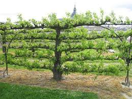 Small Picture Espaliered tree French Potager Garden Le Jardinier Fch