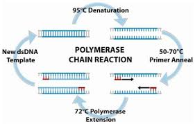 Polymerase Chain Reaction Pcr Is An Amplification Based Technique