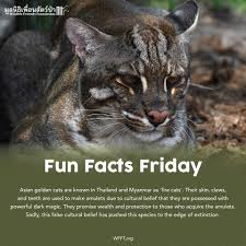 """Fun Facts Friday """" เสือไฟ """"... - Wildlife Friends Foundation Thailand"""