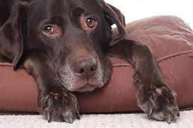 canine vestibular syndrome steroids
