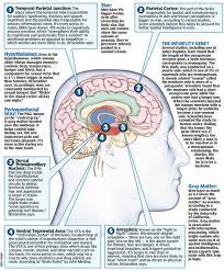 female brain versus male brain neurorelay female brain photo source new york post