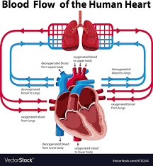 Human Blood Flow Chart Chart Showing Blood Flow Of Human Heart