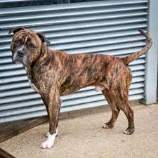 Image result for PICTURES OF BULLMASTIFF BOXER MIX DOG
