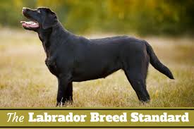 breed standard written below side view of a perfect black lab