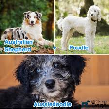 Aussiedoodle Size Chart The Complete Aussiedoodle Dog Guide Breeders Pictures