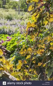 The Kitchen Garden Climbing Beans In The Kitchen Garden At Tintinhull Somerset In