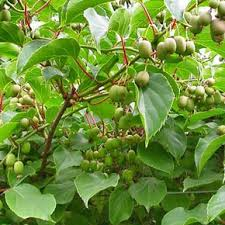 Amazoncom  Arabica Coffee Bean Plant  4Lotus Fruit Tree