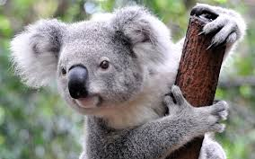national geographic koala s life in wild national geographic 2015 koala s life in wild documentary hd