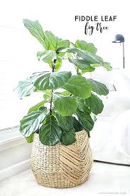 house plant with round green leaves fiddle leaf fig tree indoor house house plant green leaves house plant with round