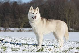 Alaskan Malamute Growth Chart Dogs Breeds And Everything