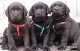 female chocolate lab. Brilliant Lab Puppies Photograph  Triplets Female Chocolate Labrador Retriever By Animal  Fotos Inside Lab E