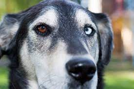 dogs with diffe colored eyes